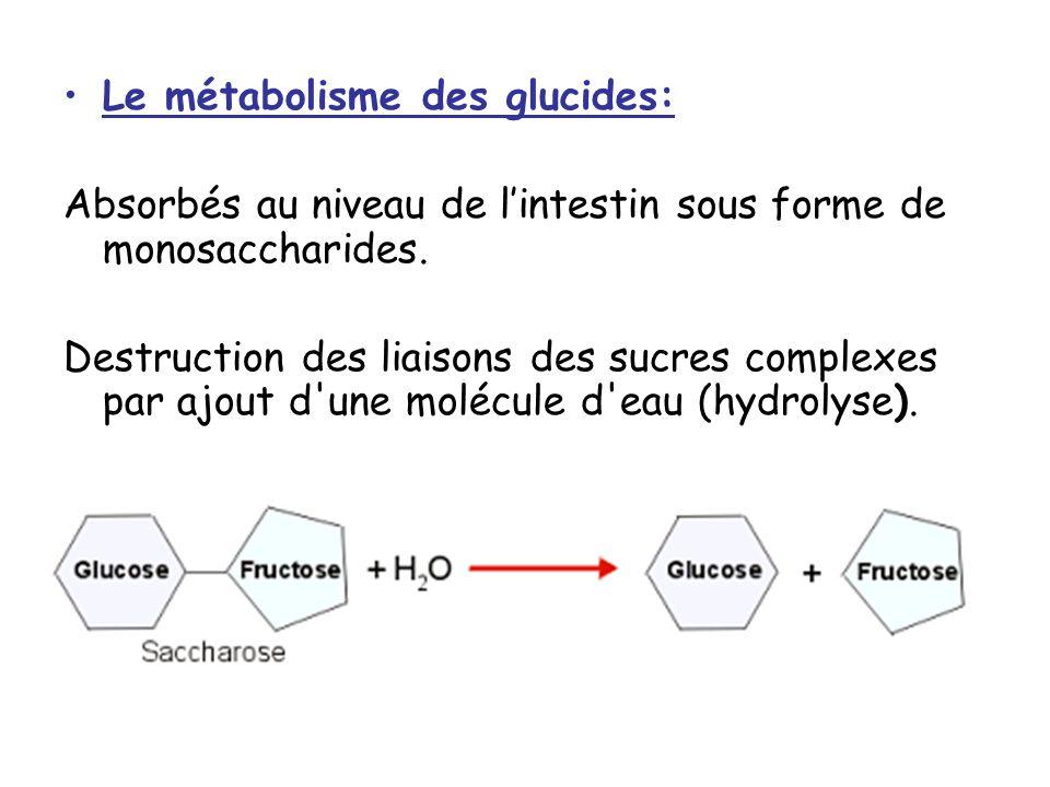 Le métabolisme des glucides: Absorbés au niveau de lintestin sous forme de monosaccharides.