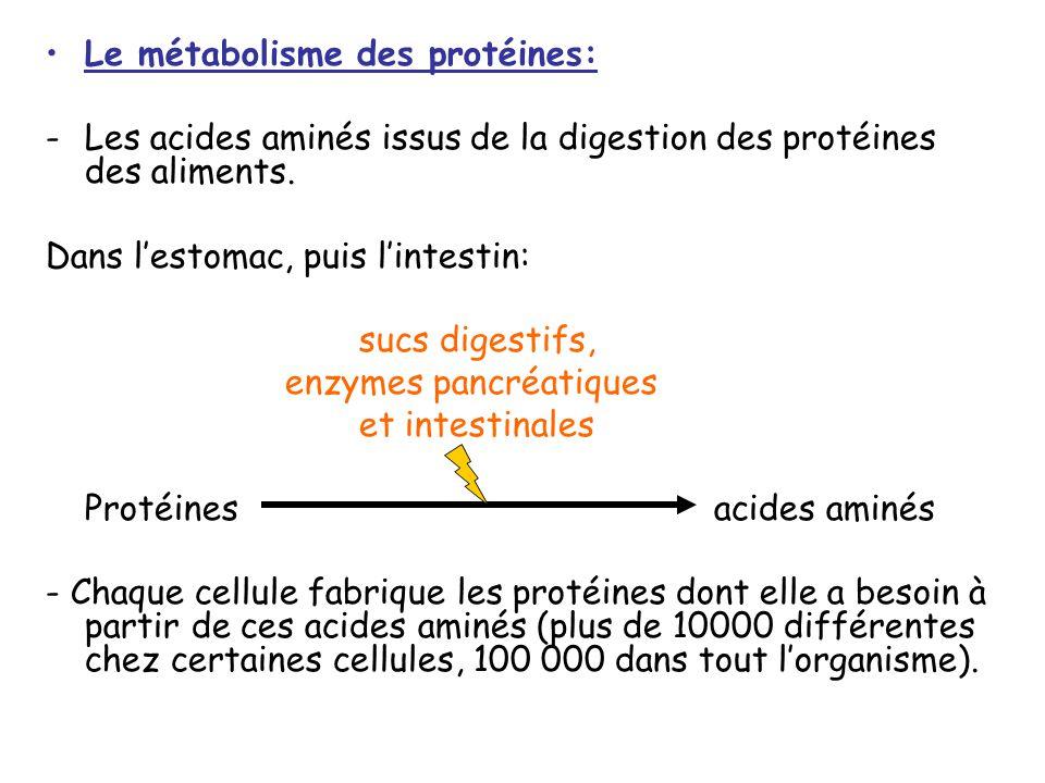 Le métabolisme des protéines: -Les acides aminés issus de la digestion des protéines des aliments.