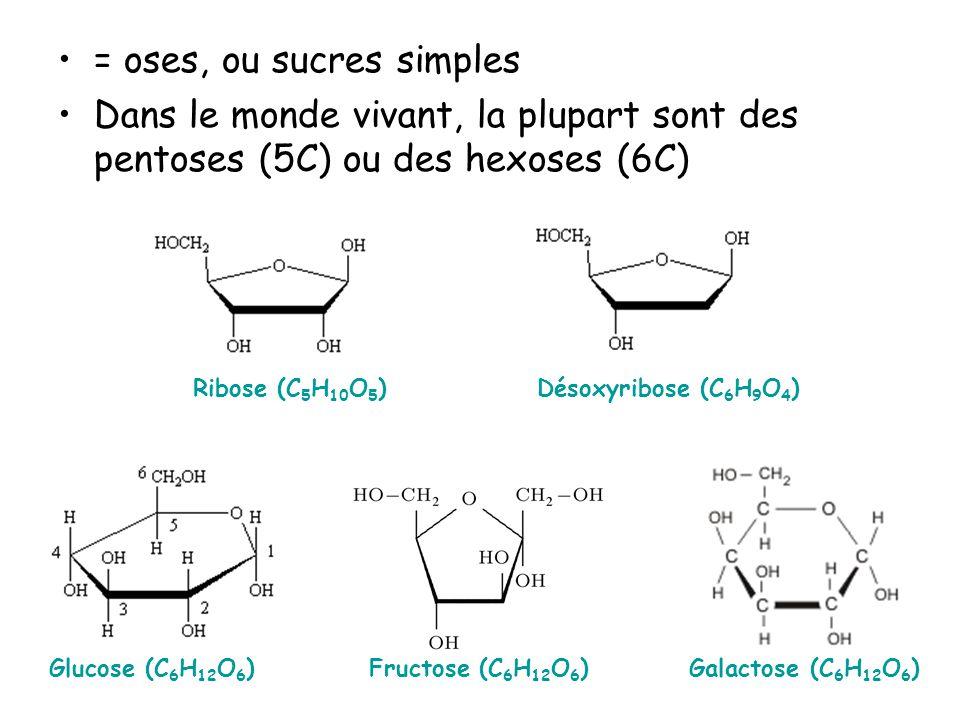= oses, ou sucres simples Dans le monde vivant, la plupart sont des pentoses (5C) ou des hexoses (6C) Glucose (C 6 H 12 O 6 )Galactose (C 6 H 12 O 6 )Fructose (C 6 H 12 O 6 ) Ribose (C 5 H 10 O 5 )Désoxyribose (C 6 H 9 O 4 )