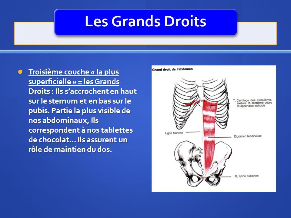Les Grands Droits Troisième couche « la plus superficielle » = les Grands Droits : Ils saccrochent en haut sur le sternum et en bas sur le pubis. Part