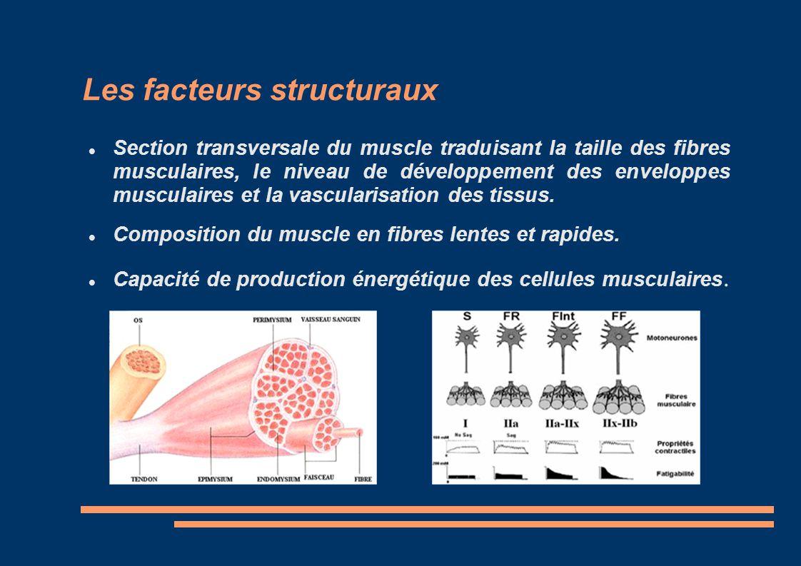 Les facteurs structuraux Section transversale du muscle traduisant la taille des fibres musculaires, le niveau de développement des enveloppes muscula