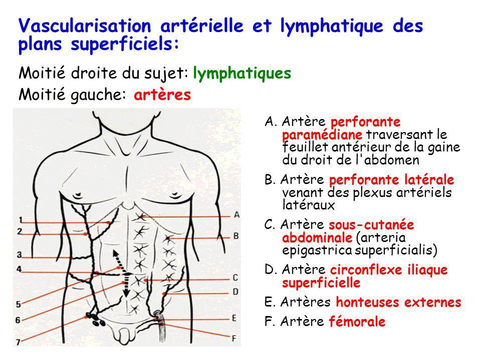 Vascularisation artérielle et lymphatique des plans superficiels: Moitié droite du sujet: lymphatiques Moitié gauche: artères A. Artère perforante par