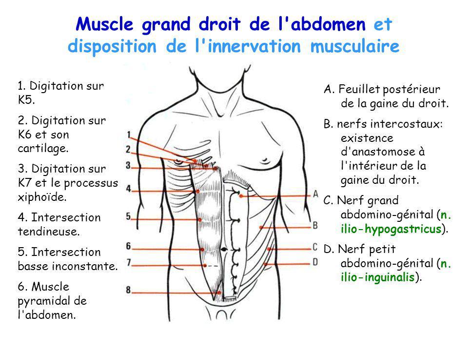 Muscle grand droit de l'abdomen et disposition de l'innervation musculaire A. Feuillet postérieur de la gaine du droit. B. nerfs intercostaux: existen