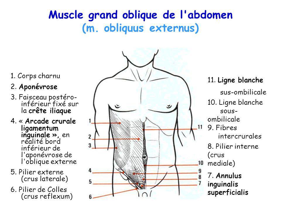 Muscle grand oblique de l'abdomen (m. obliquus externus) 1. Corps charnu 2. Aponévrose 3. Faisceau postéro- inférieur fixé sur la crête iliaque 4. « A