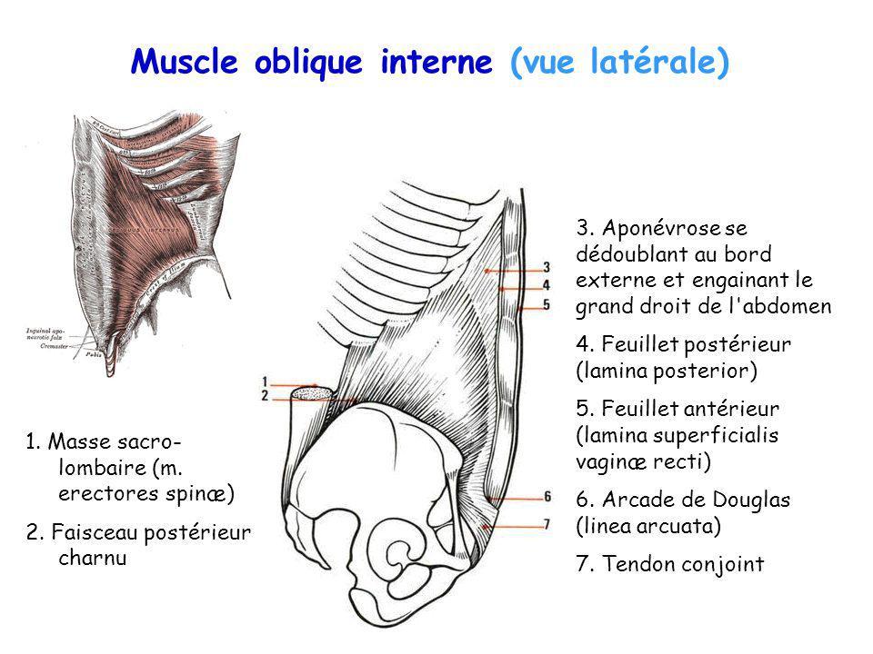 Muscle oblique interne (vue latérale) 1. Masse sacro- lombaire (m. erectores spinæ) 2. Faisceau postérieur charnu 3. Aponévrose se dédoublant au bord
