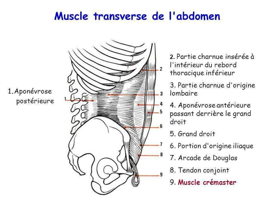 Muscle transverse de l'abdomen 1.Aponévrose postérieure 2. Partie charnue insérée à l'intérieur du rebord thoracique inférieur 3. Partie charnue d'ori