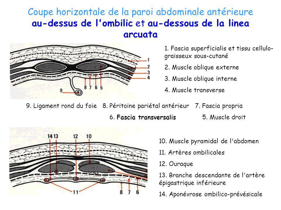 Coupe horizontale de la paroi abdominale antérieure au-dessus de l'ombilic et au-dessous de la linea arcuata 10. Muscle pyramidal de l'abdomen 11. Art