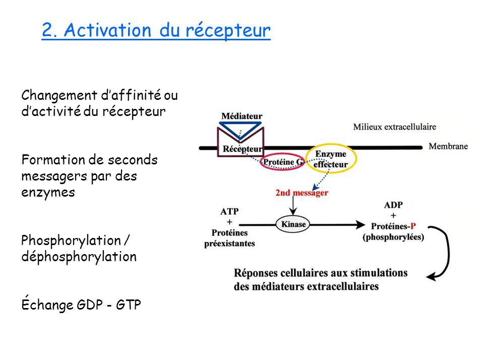 2. Activation du récepteur Changement daffinité ou dactivité du récepteur Formation de seconds messagers par des enzymes Phosphorylation / déphosphory