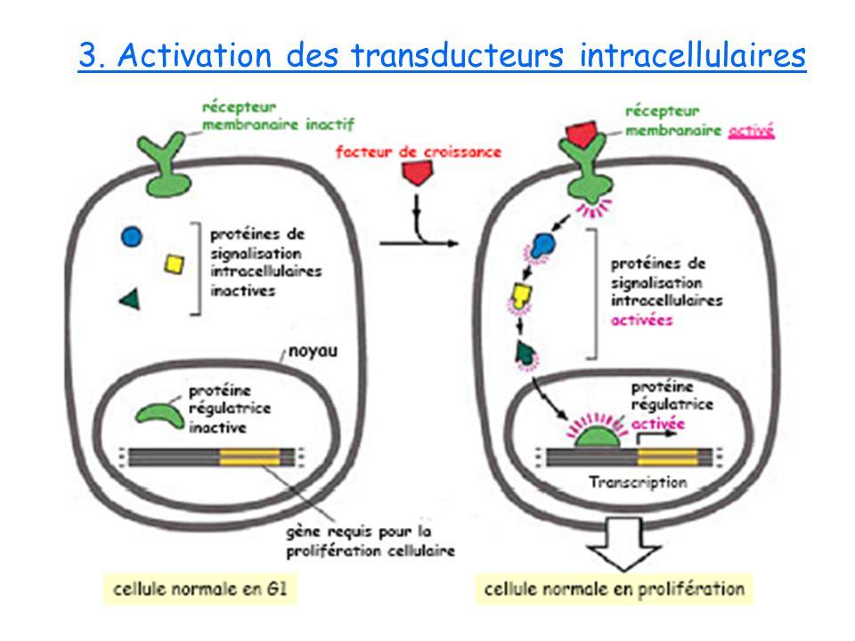 3. Activation des transducteurs intracellulaires
