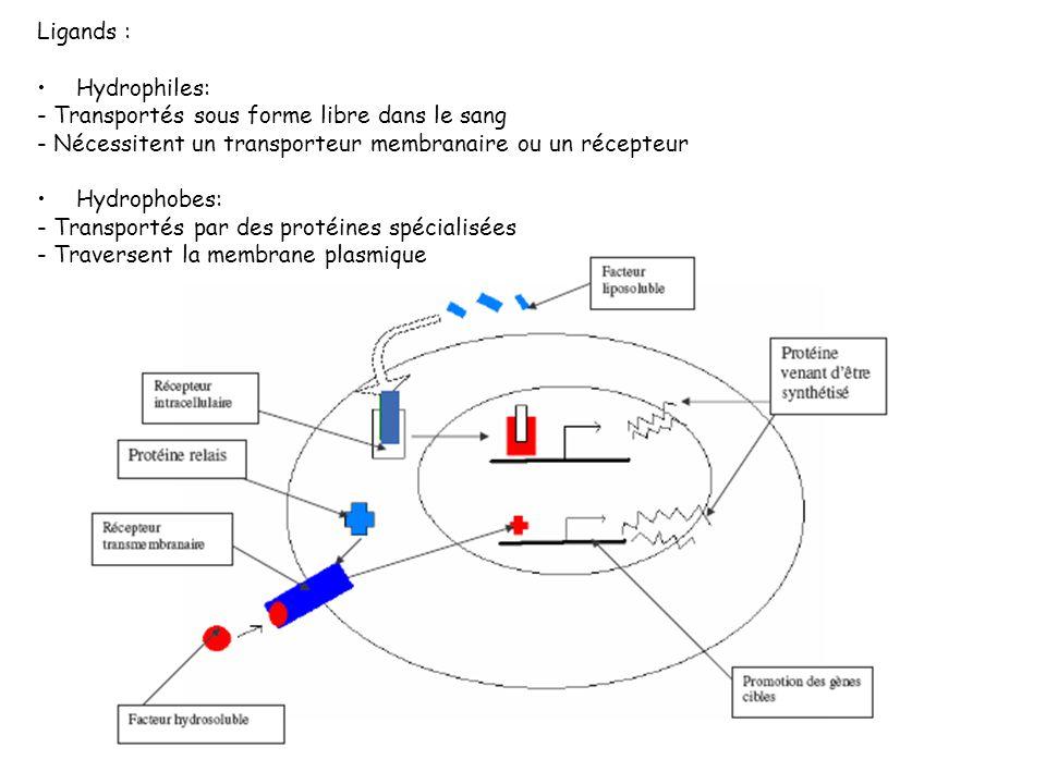 Ligands : Hydrophiles: - Transportés sous forme libre dans le sang - Nécessitent un transporteur membranaire ou un récepteur Hydrophobes: - Transporté