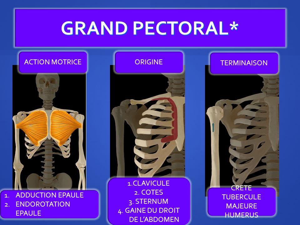 GRAND PECTORAL* ORIGINE TERMINAISON ACTION MOTRICE 1.CLAVICULE 2.