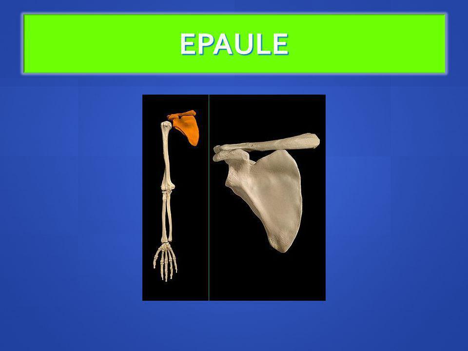 LÉpaule La ceinture scapulaire se compose de 2 os: la clavicule & la scapula (omoplate) La ceinture scapulaire se compose de 2 os: la clavicule & la scapula (omoplate) Elles sarticulent entre-elles grâce à larticulation Acromio- claviculaire Elles sarticulent entre-elles grâce à larticulation Acromio- claviculaire La scapula sarticule avec lHumérus avec larticulation Scapulo- humérale et la fausse articulation sous acromiodeltoïdienne La scapula sarticule avec lHumérus avec larticulation Scapulo- humérale et la fausse articulation sous acromiodeltoïdienne La scapula sarticule avec les côtes par la fausse articulation omoseratothoracique (plan de glissement cellulograisseux scapulo-thoracique = syssarcose).