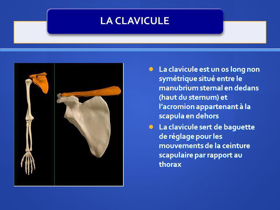 LA CLAVICULE La clavicule est un os long non symétrique situé entre le manubrium sternal en dedans (haut du sternum) et lacromion appartenant à la sca