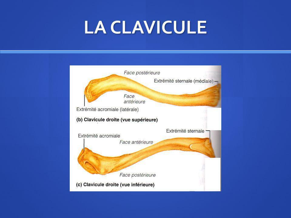 LOMOPLATE « SCAPULA » La scapula est un os plat non symétrique de forme triangulaire avec un sommet inférieur possédant une face antérieure ou costale en contact avec le thorax et une face postérieure qui présente en partie supérieure lépine de la scapula prolongée en dehors par lacromion La scapula est un os plat non symétrique de forme triangulaire avec un sommet inférieur possédant une face antérieure ou costale en contact avec le thorax et une face postérieure qui présente en partie supérieure lépine de la scapula prolongée en dehors par lacromion Sous lacromion, on trouve lextrémité supérieure de lhumérus qui contribue à former une voute sous acriomio- coracoïdienne avec un ligament acromiocoracoïdien Sous lacromion, on trouve lextrémité supérieure de lhumérus qui contribue à former une voute sous acriomio- coracoïdienne avec un ligament acromiocoracoïdien