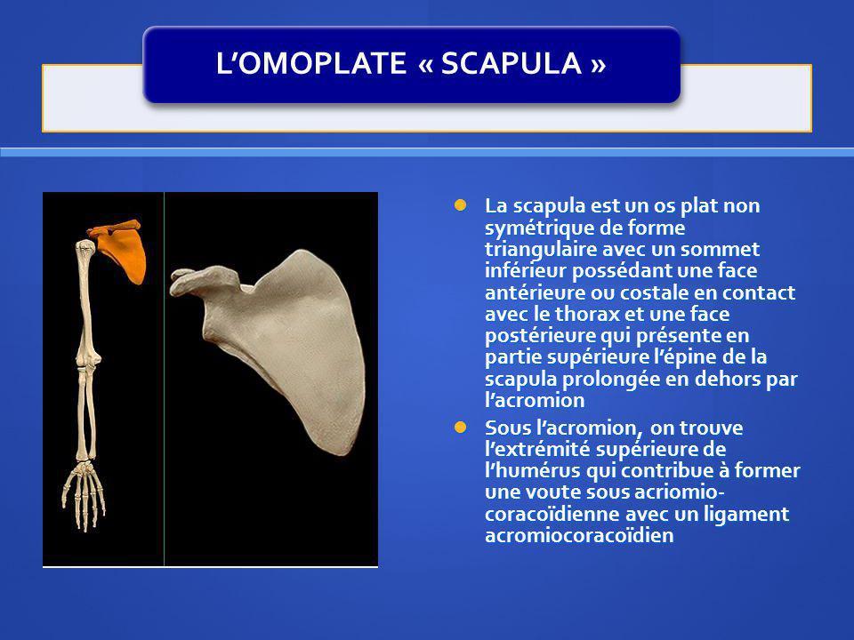 LOMOPLATE « SCAPULA » La scapula est un os plat non symétrique de forme triangulaire avec un sommet inférieur possédant une face antérieure ou costale