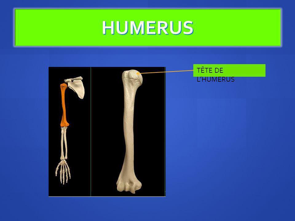 HUMERUS TÊTE DE LHUMERUS