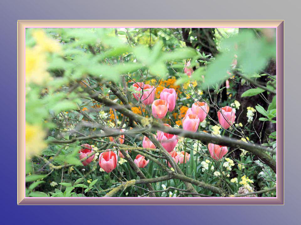 Gilbert Vahé, le chef jardinier de la fondation Monet est formel : « il ny a pas de calendrier des fleurs visibles dans les jardins de Claude Monet po