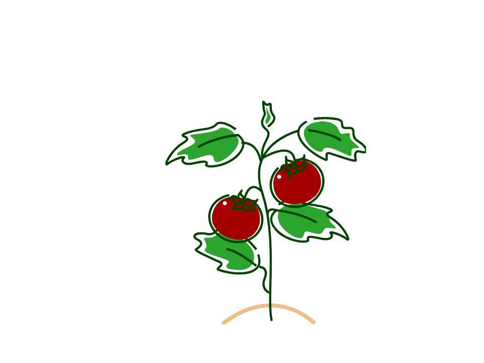 Les tomates (f.)