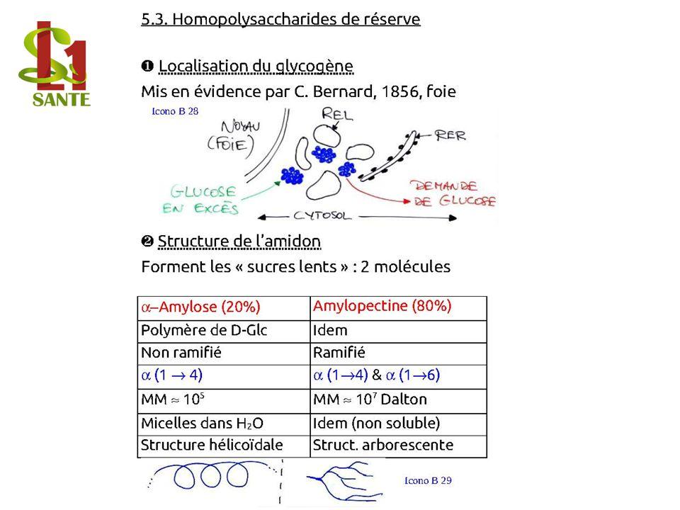 5.3. Homop olysacc harides de réserve