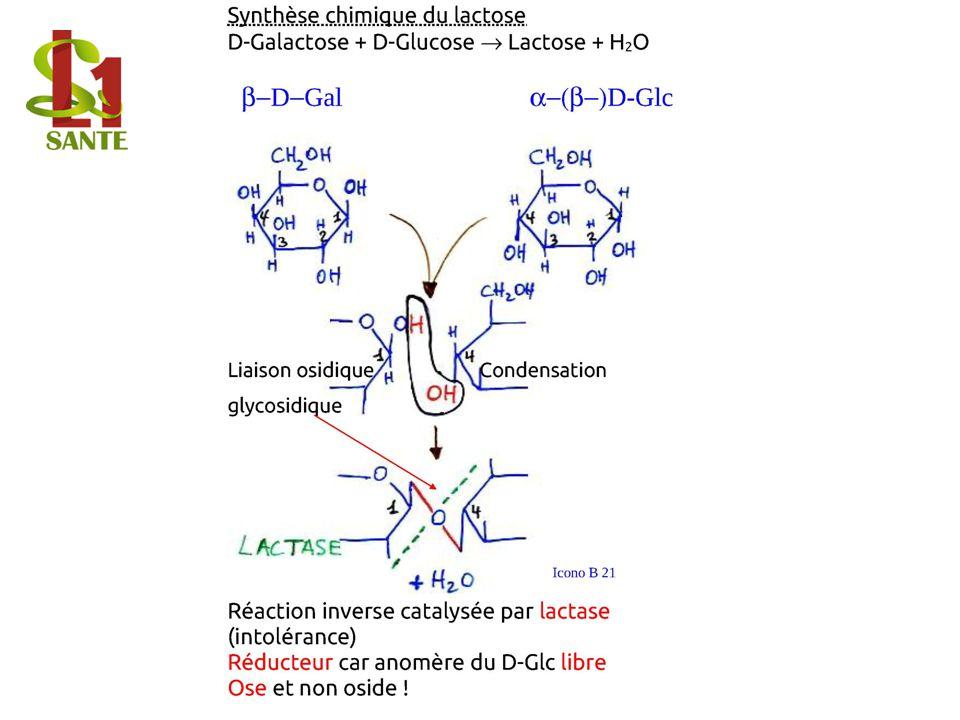 Synthèse chimique du lactose D-Galactose + D-Glucose Lactose + H2O