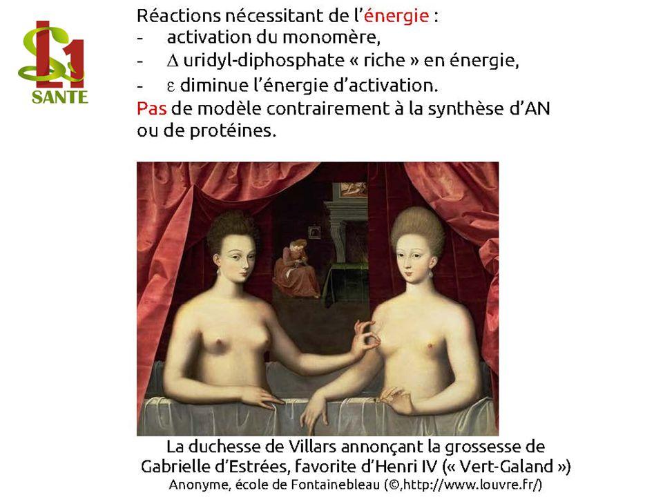 Réactions nécessitant de lénergie : - activation du monomère, - uridyl- diphosphate « riche » en énergie, - diminue lénergie dactivation. Pas de modèl