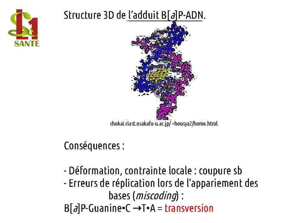 Structure 3D de ladduit B[a]P-ADN.