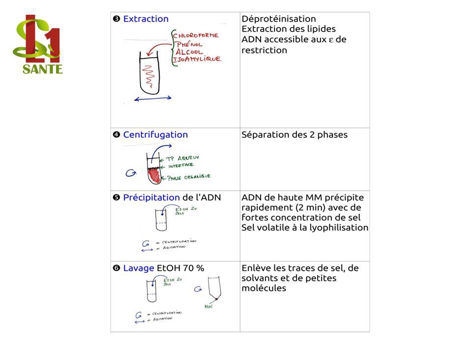Extraction / Centrifugation / Précipitation de l'ADN / Lavage EtOH 70 %