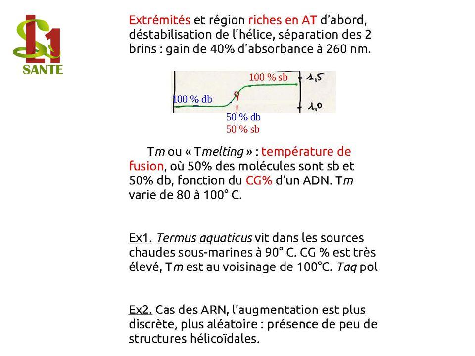 Extrémités et région riches en AT dabord, déstabilisation de lhélice, séparation des 2 brins : gain de 40% dabsorbance à 260 nm.