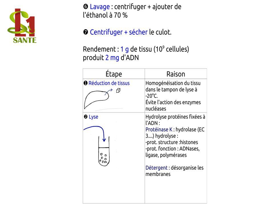 Extraction / Centrifugation / Précipitation de l ADN / Lavage EtOH 70 %