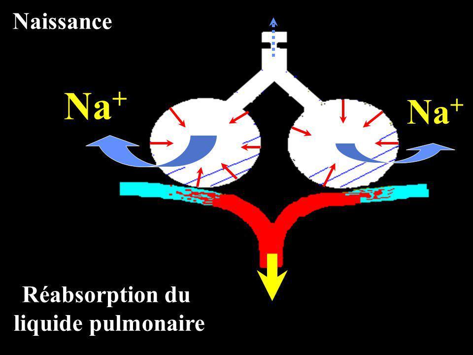 Réabsorption du liquide pulmonaire Na + Naissance