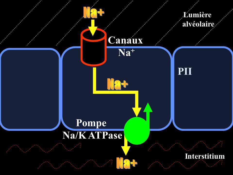PII Canaux Na + Pompe Na/K ATPase Lumière alvéolaire Interstitium