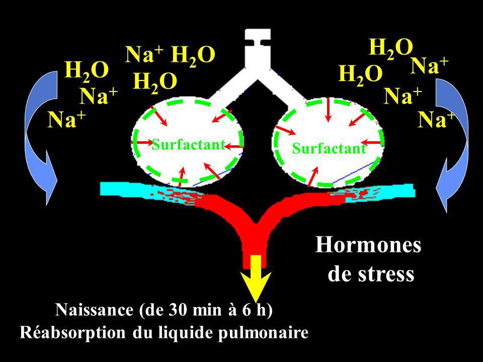 Naissance (de 30 min à 6 h) Réabsorption du liquide pulmonaire Na + Hormones de stress H2OH2O Na + H2OH2O H2OH2O H2OH2O H2OH2O Surfactant
