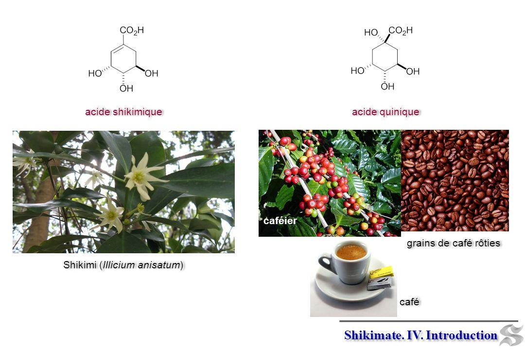 acide shikimique acide quinique Shikimate. IV. Introduction grains de café rôties caféier café Shikimi (Illicium anisatum)