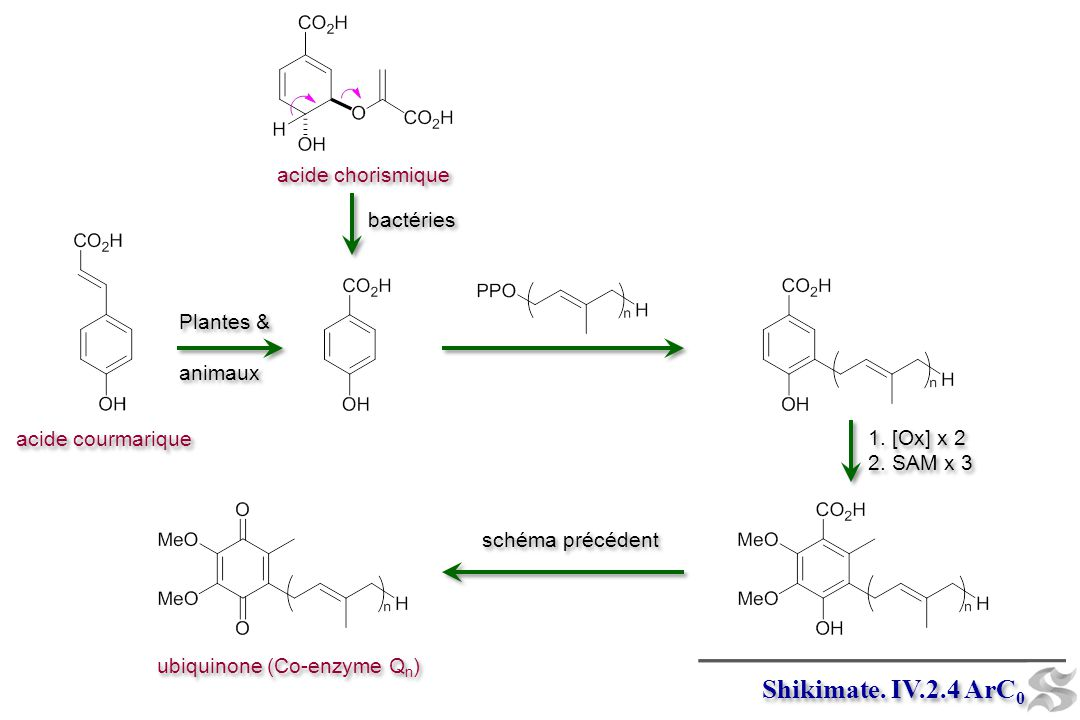 Shikimate. IV.2.4 ArC 0 Plantes & animaux Plantes & animaux acide chorismique bactéries 1. [Ox] x 2 2. SAM x 3 1. [Ox] x 2 2. SAM x 3 acide courmariqu