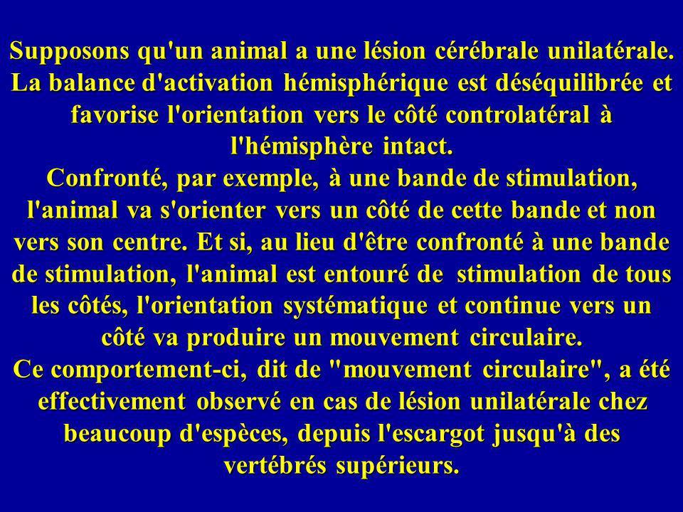 Supposons qu'un animal a une lésion cérébrale unilatérale. La balance d'activation hémisphérique est déséquilibrée et favorise l'orientation vers le c