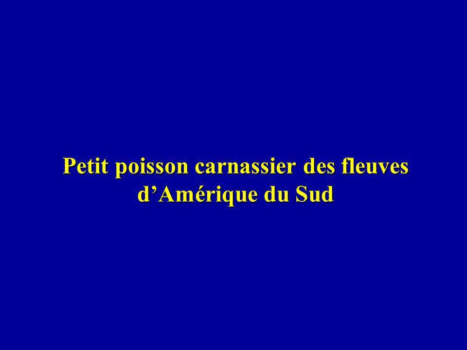 Petit poisson carnassier des fleuves dAmérique du Sud