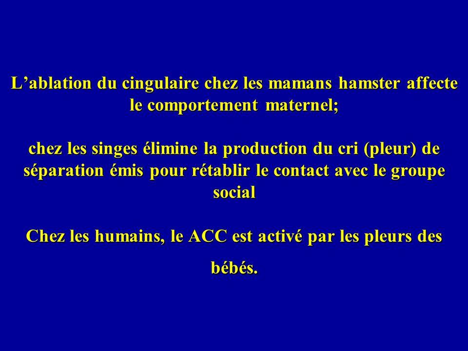 Lablation du cingulaire chez les mamans hamster affecte le comportement maternel; chez les singes élimine la production du cri (pleur) de séparation émis pour rétablir le contact avec le groupe social Chez les humains, le ACC est activé par les pleurs des bébés.