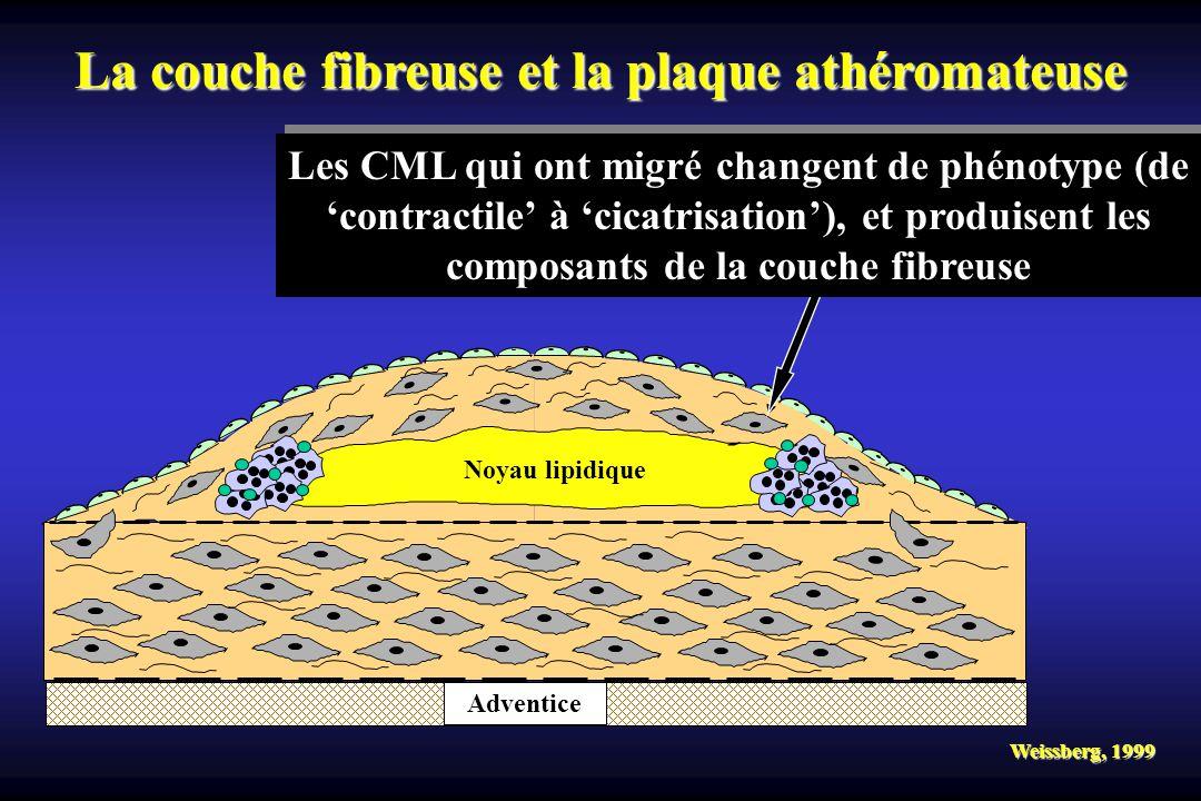 Adventice Noyau lipidique Weissberg, 1999 La couche fibreuse et la plaque athéromateuse Les CML qui ont migré changent de phénotype (de contractile à