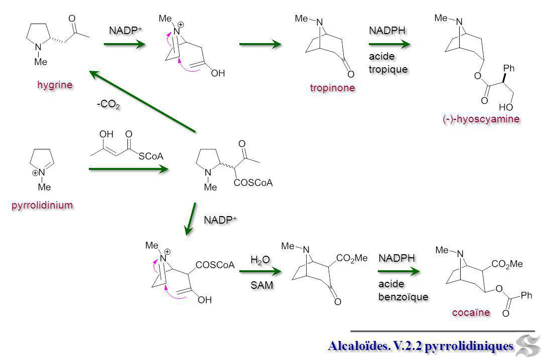 pyrrolidinium Alcaloïdes. V.2.2 pyrrolidiniques -CO 2 hygrine NADP + tropinone cocaïne NADPH acide benzoïque NADPH acide benzoïque NADP + H 2 O SAM H