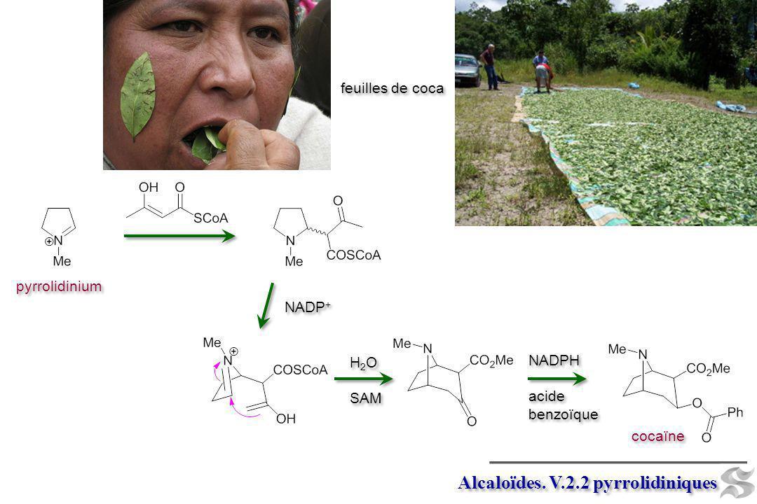 pyrrolidinium Alcaloïdes. V.2.2 pyrrolidiniques cocaïne NADPH acide benzoïque NADPH acide benzoïque NADP + H 2 O SAM H 2 O SAM feuilles de coca