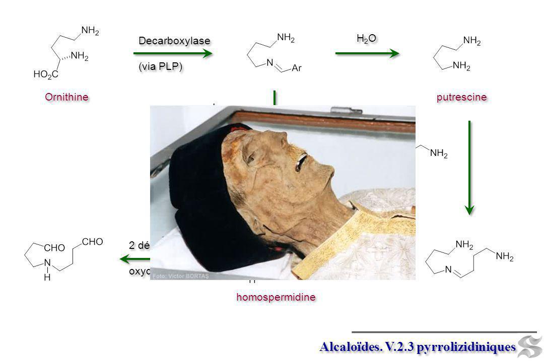 Decarboxylase (via PLP) Decarboxylase (via PLP) Ornithine Isomerase H2OH2O H2OH2O putrescine H2OH2O H2OH2O NADPH homospermidine 2 déaminations oxydati