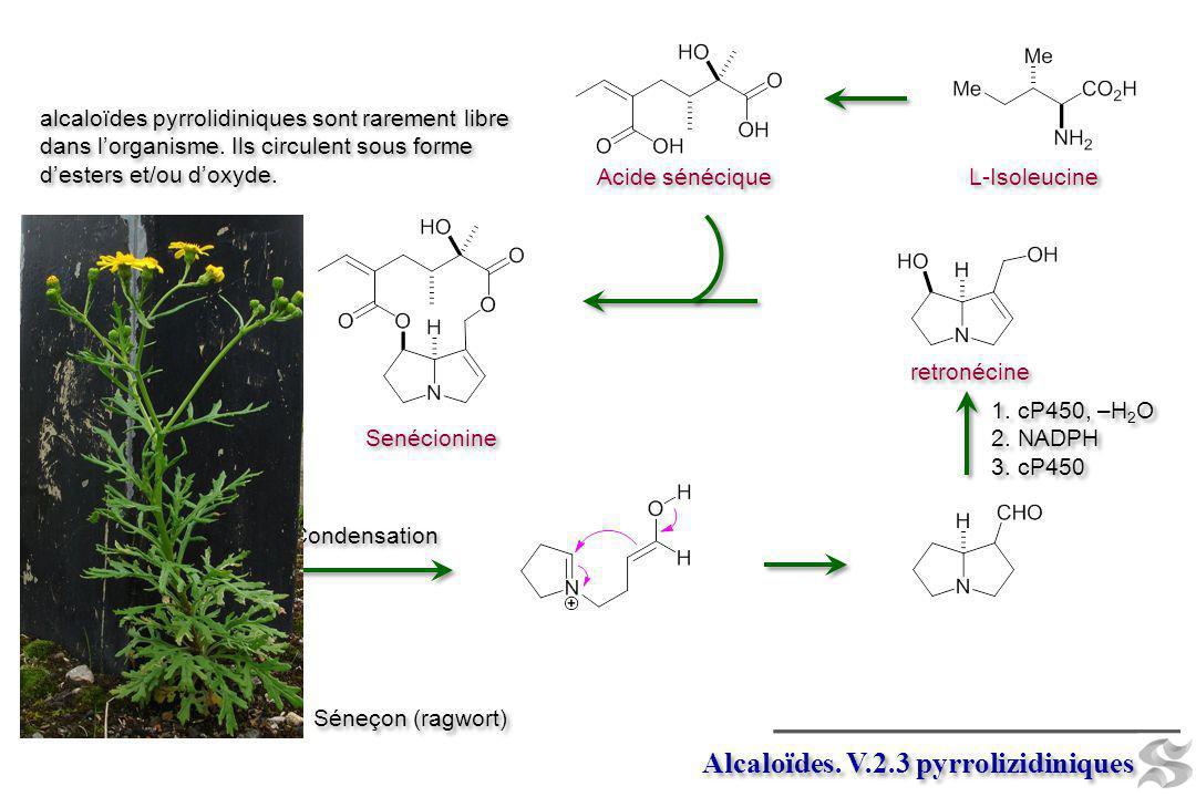 Senécionine L-Isoleucine Acide sénécique Alcaloïdes. V.2.3 pyrrolizidiniques Condensation retronécine 1. cP450, –H 2 O 2. NADPH 3. cP450 1. cP450, –H