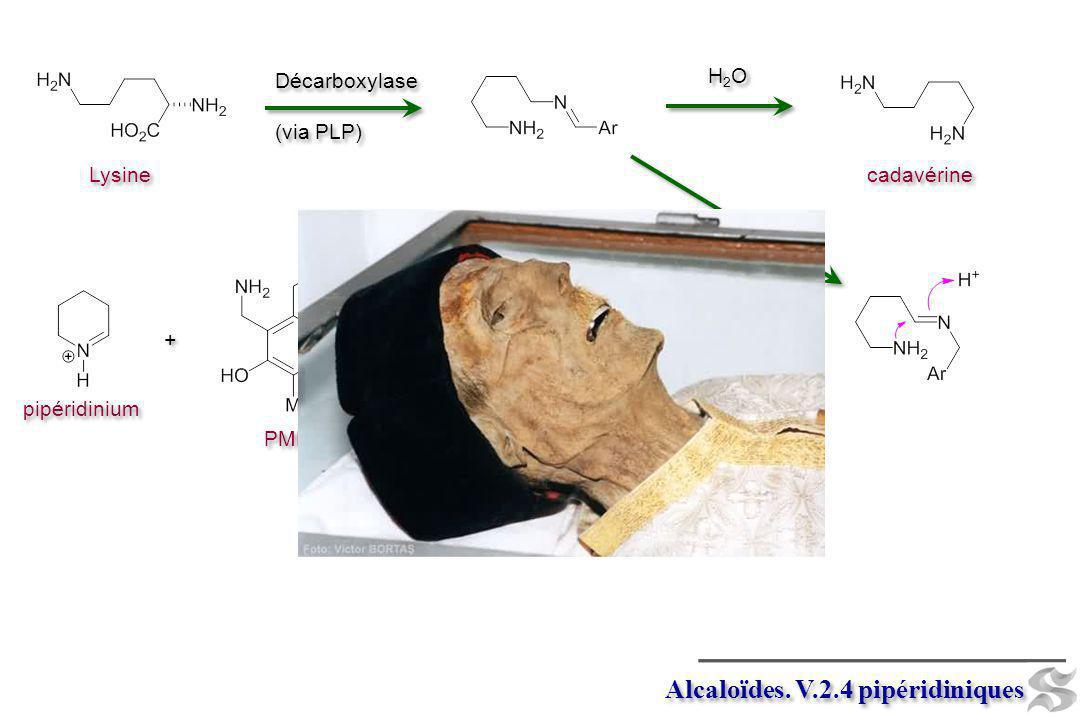 Alcaloïdes. V.2.4 pipéridiniques Décarboxylase (via PLP) Décarboxylase (via PLP) Lysine Isomerase + + pipéridinium PMP cadavérine H2OH2O H2OH2O