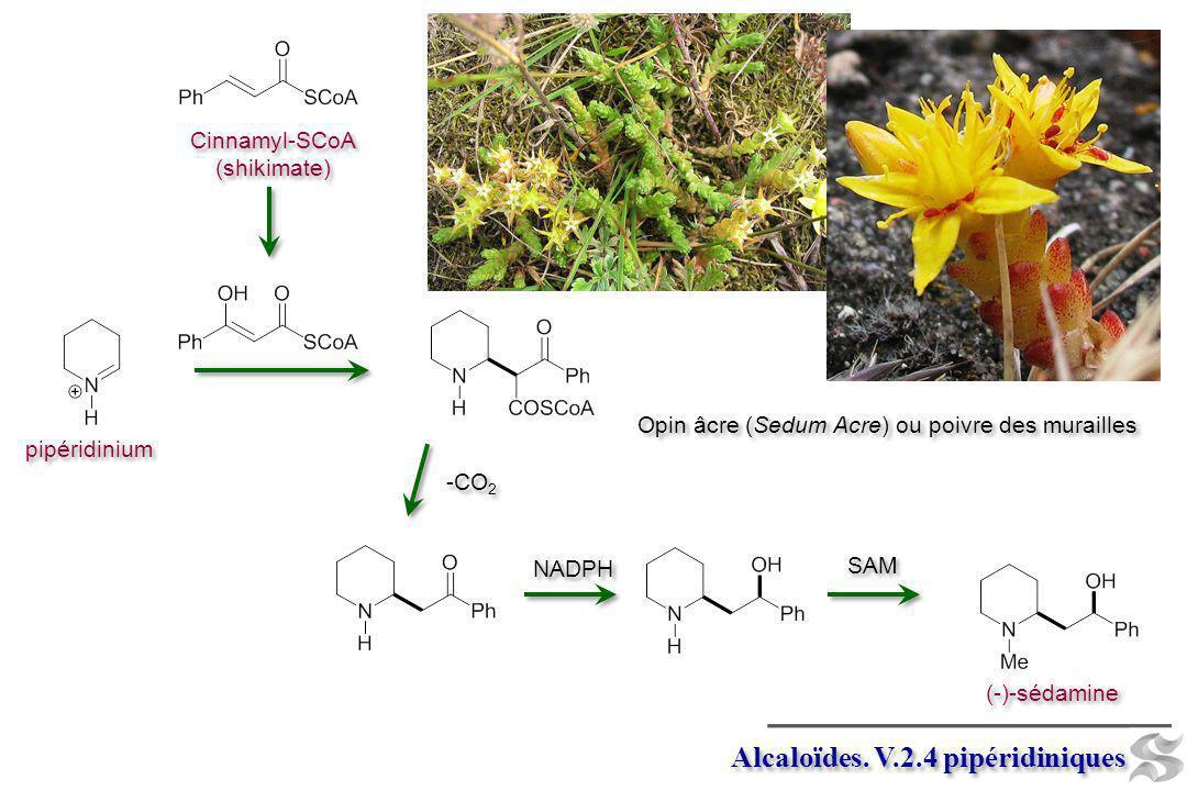 Alcaloïdes. V.2.4 pipéridiniques pipéridinium (-)-sédamine SAM -CO 2 NADPH Cinnamyl-SCoA (shikimate) Cinnamyl-SCoA (shikimate) Opin âcre (Sedum Acre)