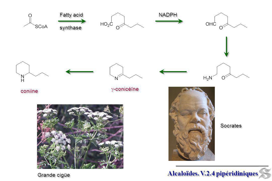 Alcaloïdes. V.2.4 pipéridiniques Fatty acid synthase Fatty acid synthase NADPH -conicéïne coniine Grande cigüe Socrates