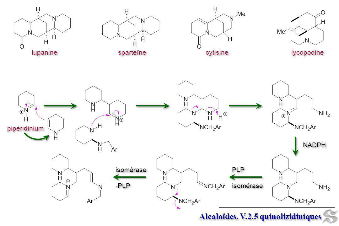 pipéridinium Alcaloïdes. V.2.5 quinolizidiniques NADPH PLP isomérase PLP isomérase -PLP isomérase -PLP lupanine spartéïne cytisine lycopodine