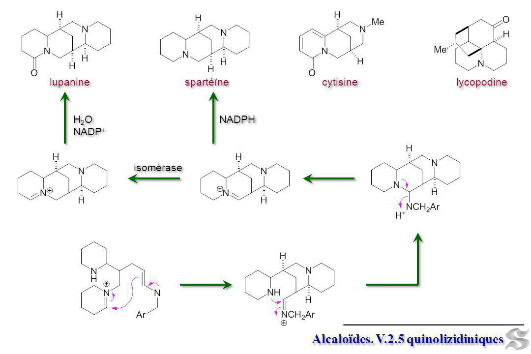 Alcaloïdes. V.2.5 quinolizidiniques lupanine spartéïne cytisine lycopodine isomérase NADPH H 2 O NADP + H 2 O NADP +
