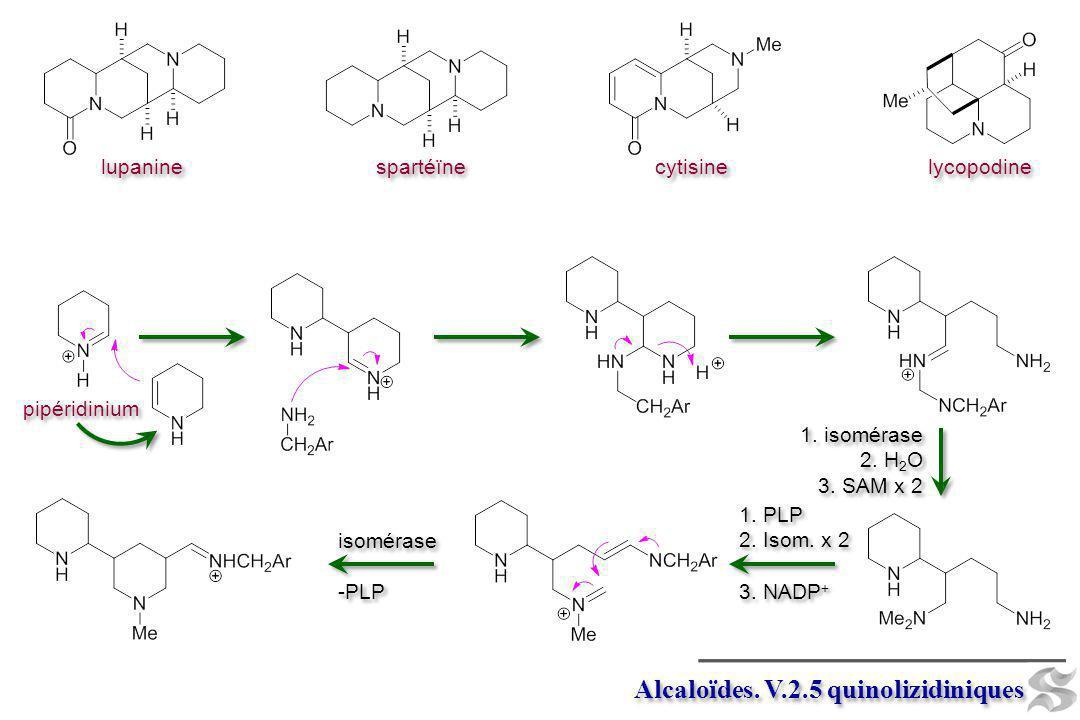 pipéridinium Alcaloïdes. V.2.5 quinolizidiniques 1. isomérase 2. H 2 O 3. SAM x 2 1. isomérase 2. H 2 O 3. SAM x 2 1. PLP 2. Isom. x 2 3. NADP + 1. PL