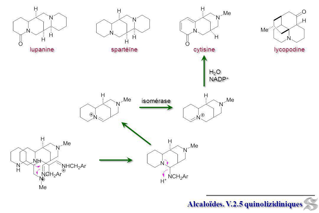 Alcaloïdes. V.2.5 quinolizidiniques cytisine lupanine spartéïne lycopodine isomérase H 2 O NADP + H 2 O NADP +