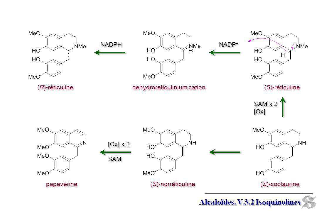 Alcaloïdes. V.3.2 Isoquinolines (S)-coclaurine (S)-norréticuline papavérine [Ox] x 2 SAM [Ox] x 2 SAM (S)-réticuline SAM x 2 [Ox] SAM x 2 [Ox] NADP +